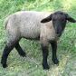 sheep black b